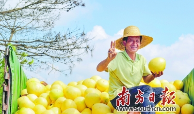 梅州蜜柚丰收,村民喜笑颜开。南方日报记者 何森垚 摄